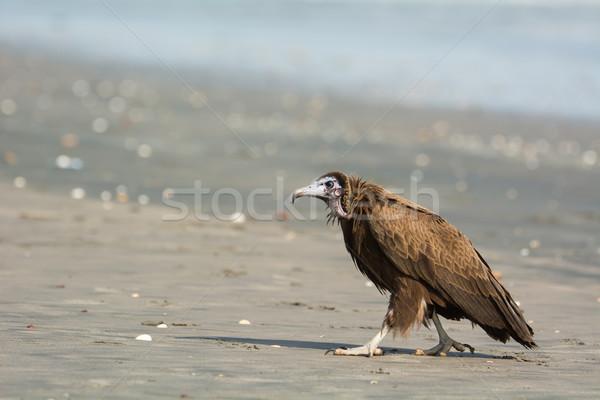Kapucnis dögkeselyű felfelé tengerpart víz hideg Stock fotó © davemontreuil