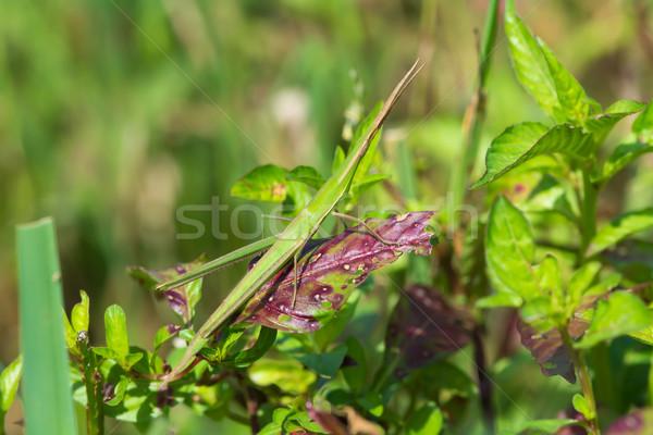 スティック グラスホッパー も 隠された 美しい 昆虫 ストックフォト © davemontreuil
