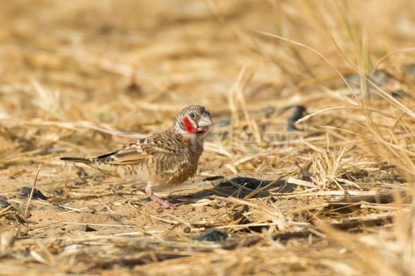 Male Cut-throat Finch (Amadina fasciata) Stock photo © davemontreuil