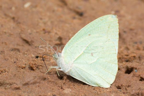 男性 蝶 アフリカ ぬれた 砂 ストックフォト © davemontreuil