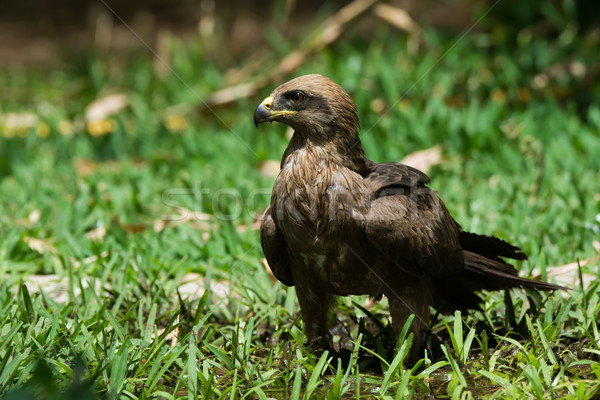 Black Kite (Milvus migrans) standing in small pool of water Stock photo © davemontreuil