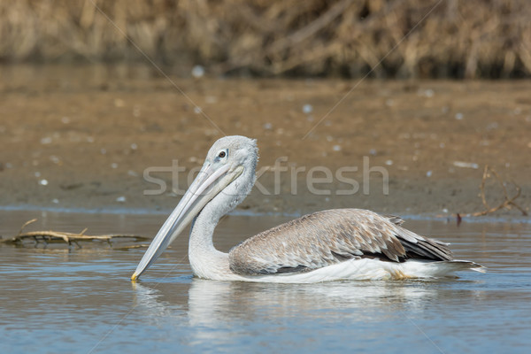 Pink-backed Pelican floating slowly by in the mangroves Stock photo © davemontreuil