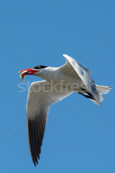 A Caspian Tern in flight with a fish Stock photo © davemontreuil