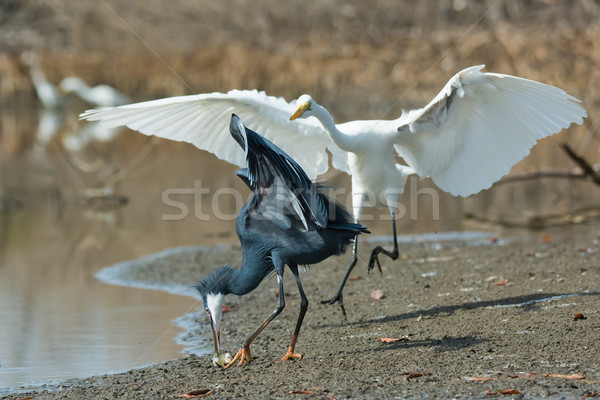 A Western Reef Heron (Egretta gularis) scrambling to pick up a f Stock photo © davemontreuil