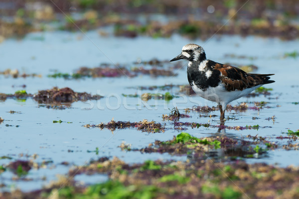A Ruddy Turnstone (Arenaria interpres) surveying the beach cover Stock photo © davemontreuil