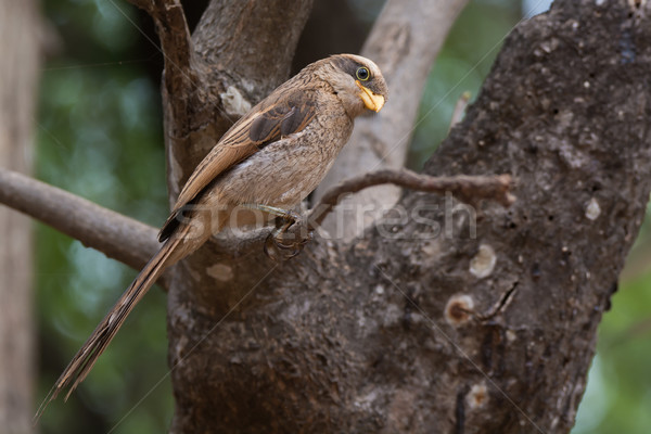 A Yellow-billed shrike (Corvinella corvina) perched on a slender Stock photo © davemontreuil