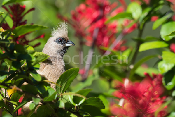 Speckled mousebird (Colius striatus) peeking out from the leaves Stock photo © davemontreuil