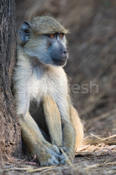 Yellow baboon (Papio cynocephalus) sitting beside a tree trunk Stock photo © davemontreuil