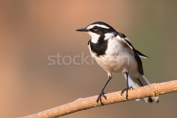 African pied wagtail (Motacilla aguimp) perched on a branch Stock photo © davemontreuil