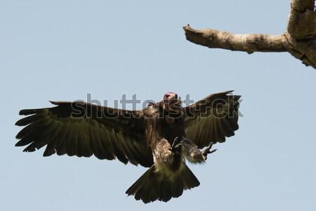 Kapucnis dögkeselyű szárnyak fa felső Stock fotó © davemontreuil