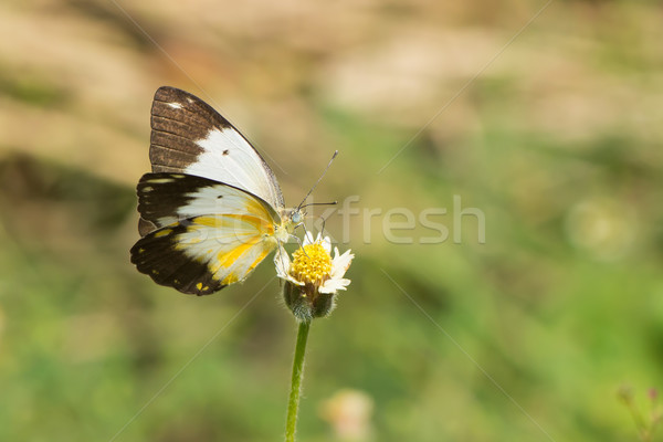 Female African Caper White Butterfly on Dandelion Stock photo © davemontreuil