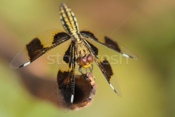 Female Portia Widow Dragonfly - Palpopleura portia Stock photo © davemontreuil