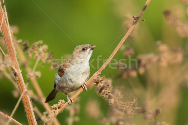 Juvenile Grey-headed Sparrow (Passer griseus) Stock photo © davemontreuil