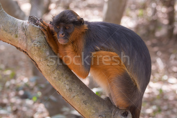 Western Red Colobus Monkey at rest Stock photo © davemontreuil