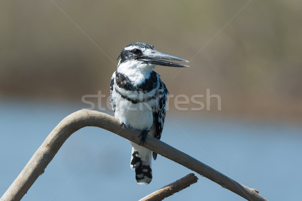 Pied Kingfisher (Ceryle rudis) perched on a branch Stock photo © davemontreuil
