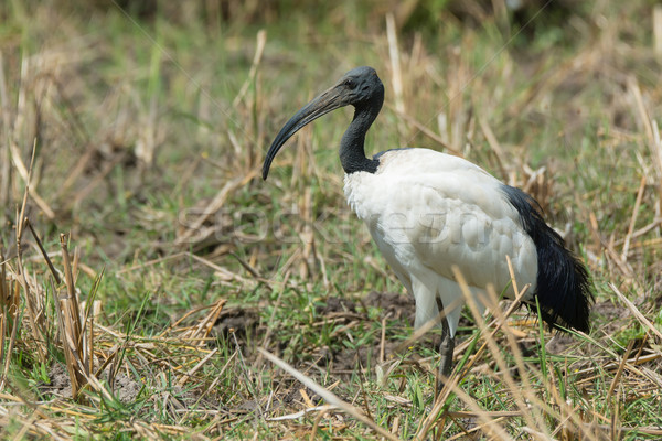 Sacred Ibis standing in a grassy field Stock photo © davemontreuil