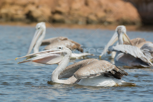 Pink-backed Pelican swallowing a fish Stock photo © davemontreuil
