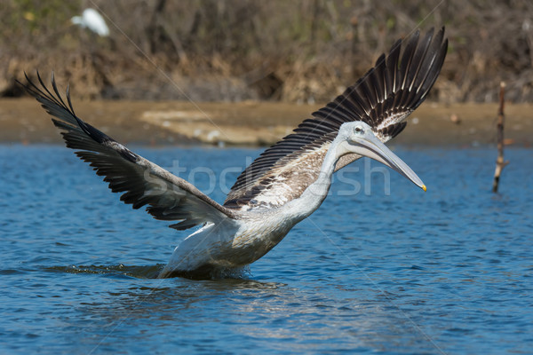 Pink-backed Pelican lunging with its wings spread Stock photo © davemontreuil