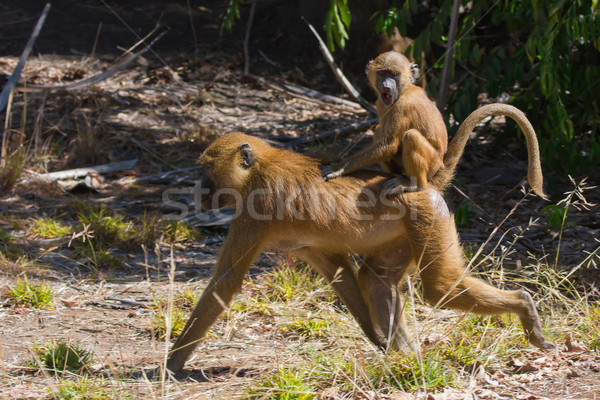 Young Western Baboon (Papio papio) riding on its mothers back  Stock photo © davemontreuil