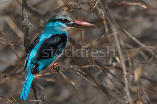 зимородок мертвых грейпфрут дерево синий Cool Сток-фото © davemontreuil