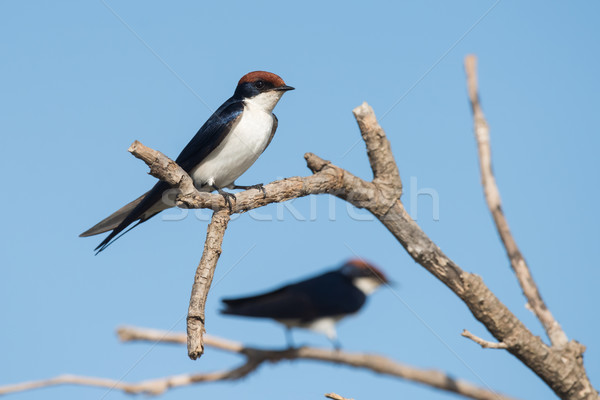 Wire-tailed Swallow (Hirundo smithii) resting on a dead branch Stock photo © davemontreuil