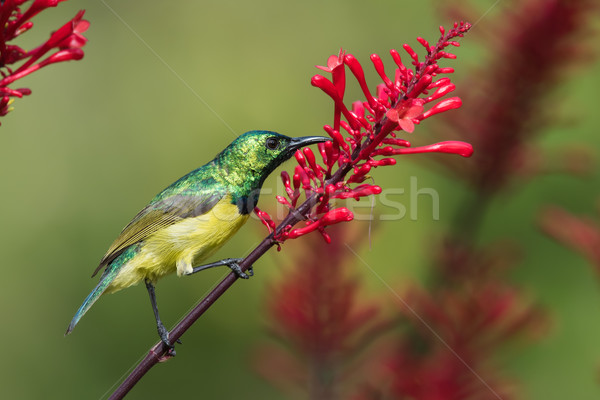Stock photo: Collared sunbird (Hedydipna collaris) stealing nectar from a  fl