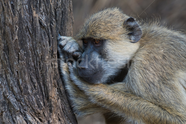 Yellow baboon (Papio cynocephalus) fighting off boredom Stock photo © davemontreuil