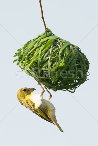 Homme nid potentiel compagnon oiseau Photo stock © davemontreuil