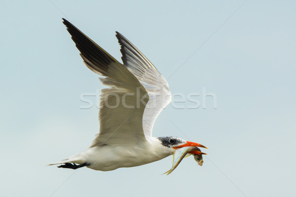 Poissons battant loin oiseaux Afrique Photo stock © davemontreuil