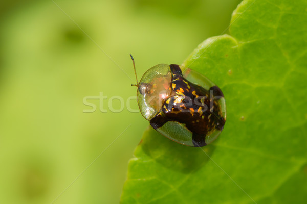 Fool's Gold Tortoise Beetle Stock photo © davemontreuil