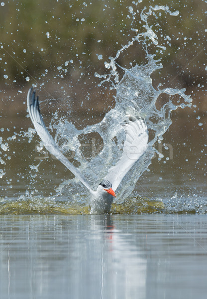 Imponujący wody ptaków Afryki cool splash Zdjęcia stock © davemontreuil