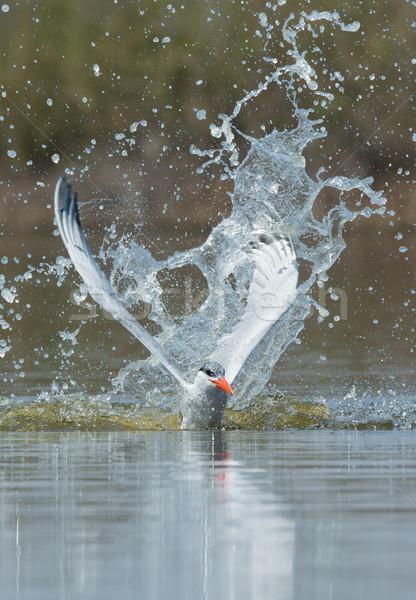 Caspian Tern resurfacing after impressive impact Stock photo © davemontreuil