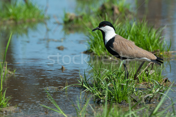 Spur-Winged Plover (Vanellus Spinosus) on a grassy island in a m Stock photo © davemontreuil