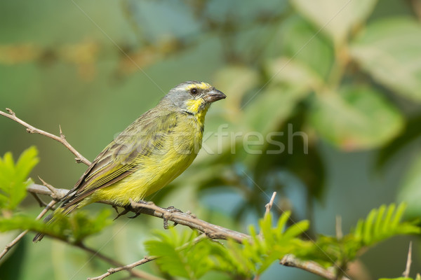 A Yellow-Fronted Canary (Serinus mozambicus) Stock photo © davemontreuil
