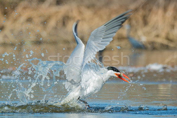 Caspian Tern after a successful dive Stock photo © davemontreuil