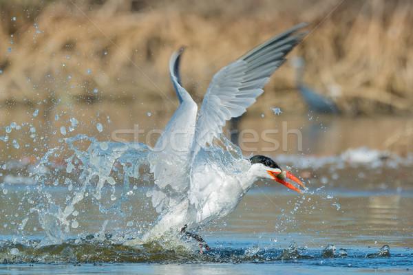 Sikeres alámerülés víz hal természet madár Stock fotó © davemontreuil