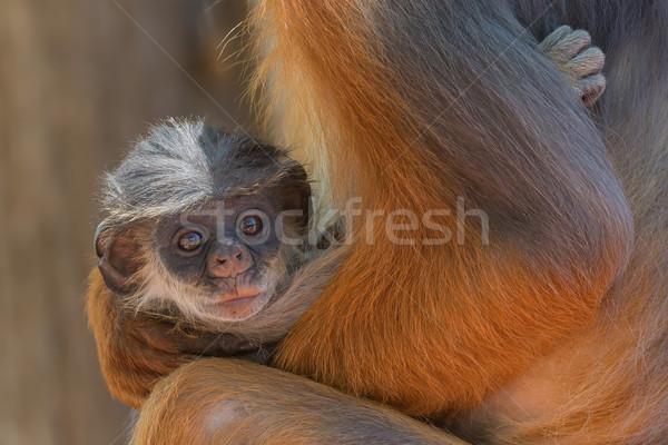 ребенка западной красный обезьяны оружия Сток-фото © davemontreuil
