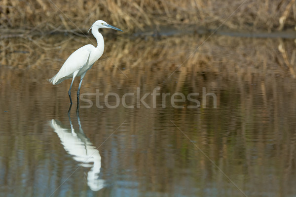 A white morph Western Reef Heron reflected in the mangroves Stock photo © davemontreuil