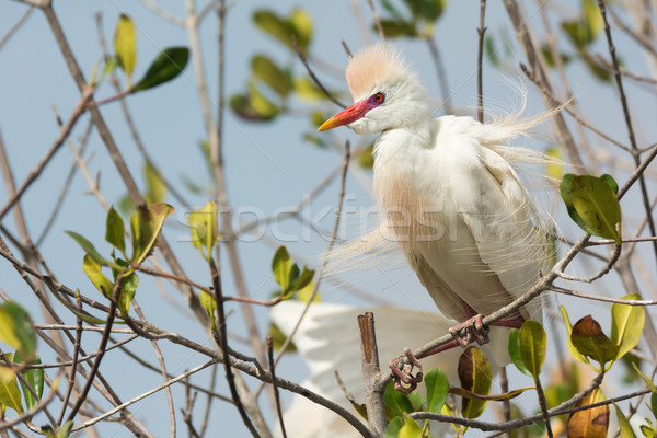 A Cattle Egret (Bubulcus ibis) in breeding plumage with erect fe Stock photo © davemontreuil