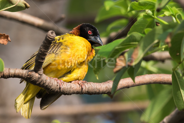 Male Village Weaver (Ploceus cucullatus) with ruffled feathers Stock photo © davemontreuil