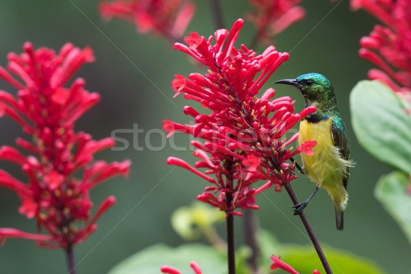 Stock photo: Collared sunbird (Hedydipna collaris) perched for nectar drinkin