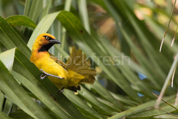 Spectacled Weaver (Ploceus ocularis) looking up from preening Stock photo © davemontreuil