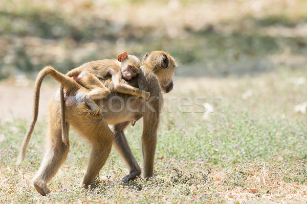 ребенка желтый бабуин верховая езда назад Сток-фото © davemontreuil