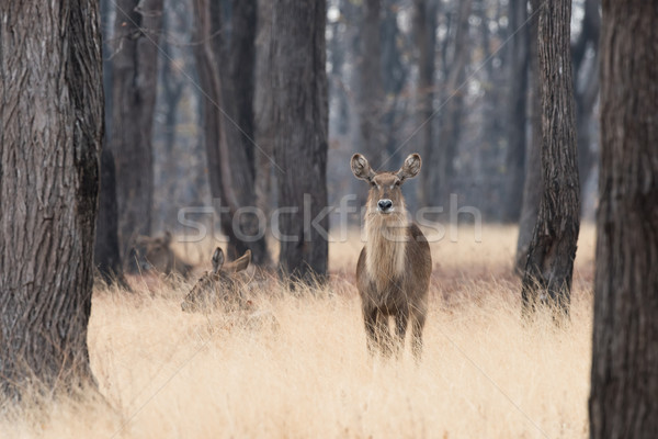 Waterbuck (Kobus ellipsiprymnus) standing in tall grasses amongs Stock photo © davemontreuil