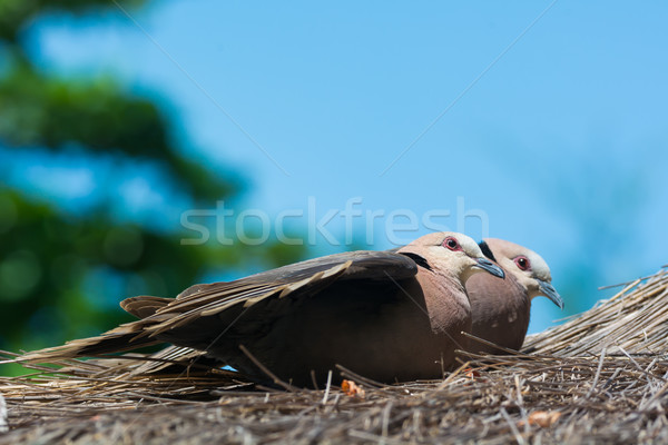 Two Red-eyed Doves on thatched roof Stock photo © davemontreuil