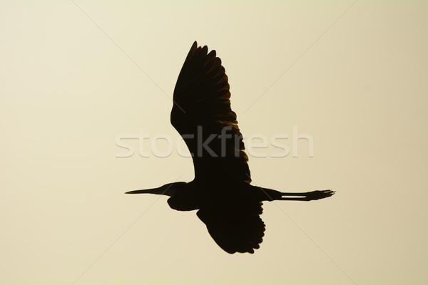 Batı balıkçıl uçuş mavi Afrika karanlık Stok fotoğraf © davemontreuil