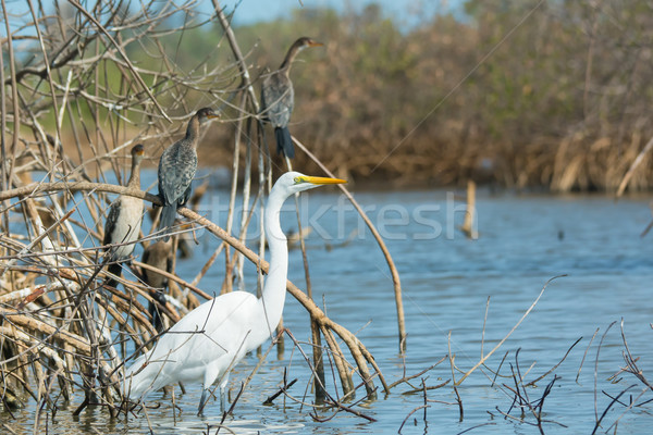 Great White Egret with perched Long-Tailed Cormorants in mangrov Stock photo © davemontreuil