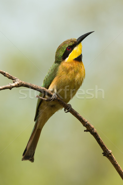 A Little-Bee Eater (Merops pusillus) searching the skies Stock photo © davemontreuil