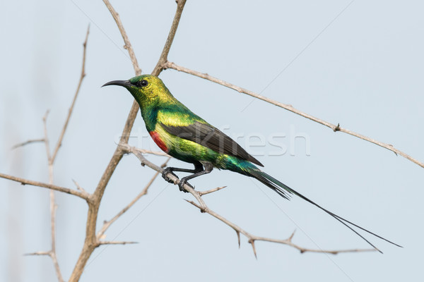 A male Beautiful Sunbird (Nectarinia pulchella) perched on a tho Stock photo © davemontreuil