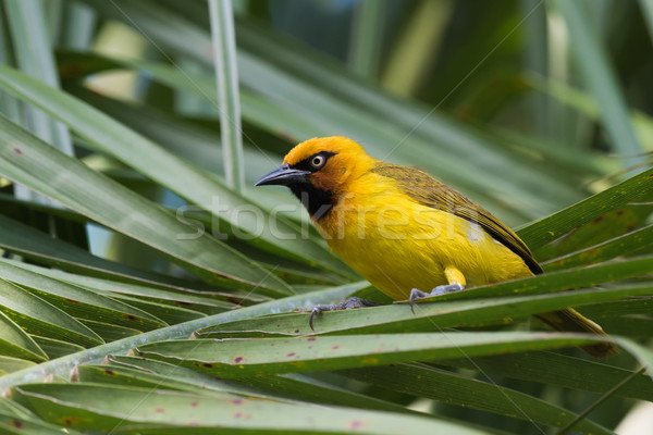 Spectacled Weaver (Ploceus ocularis) perched on a palm frond Stock photo © davemontreuil